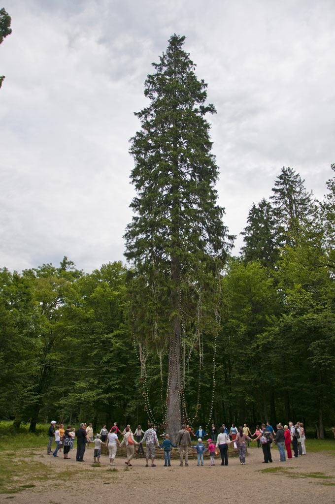 42-метровая ель
