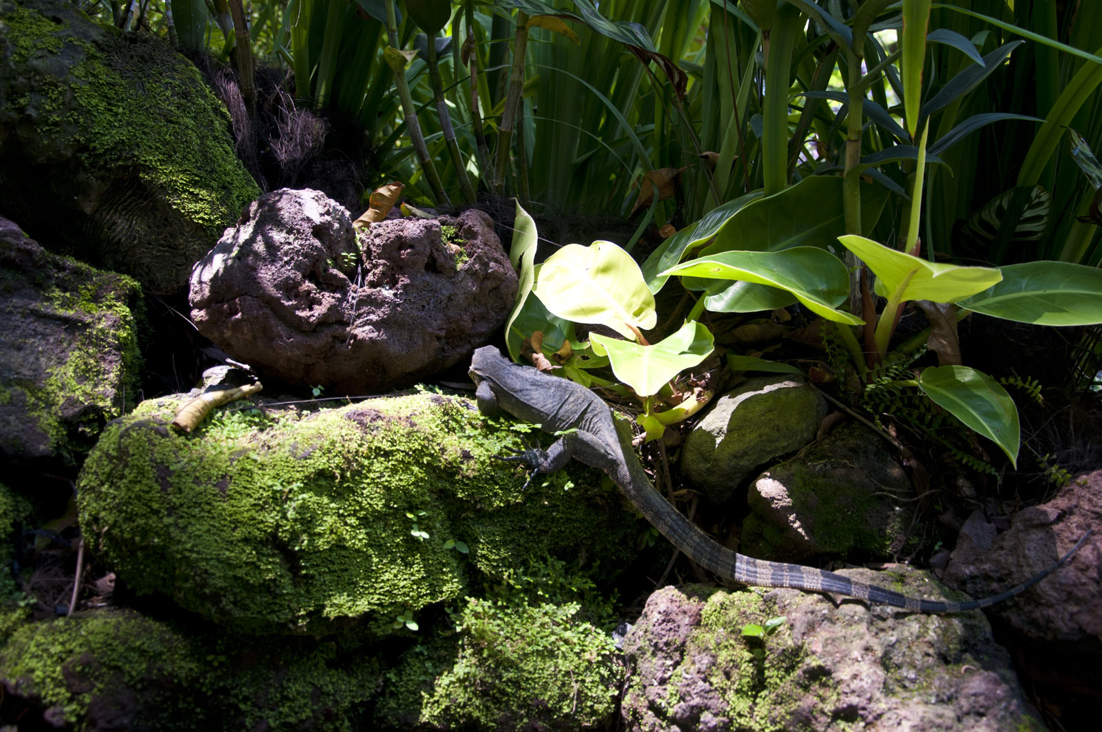 Варан в Сингапурском ботаническом саду
