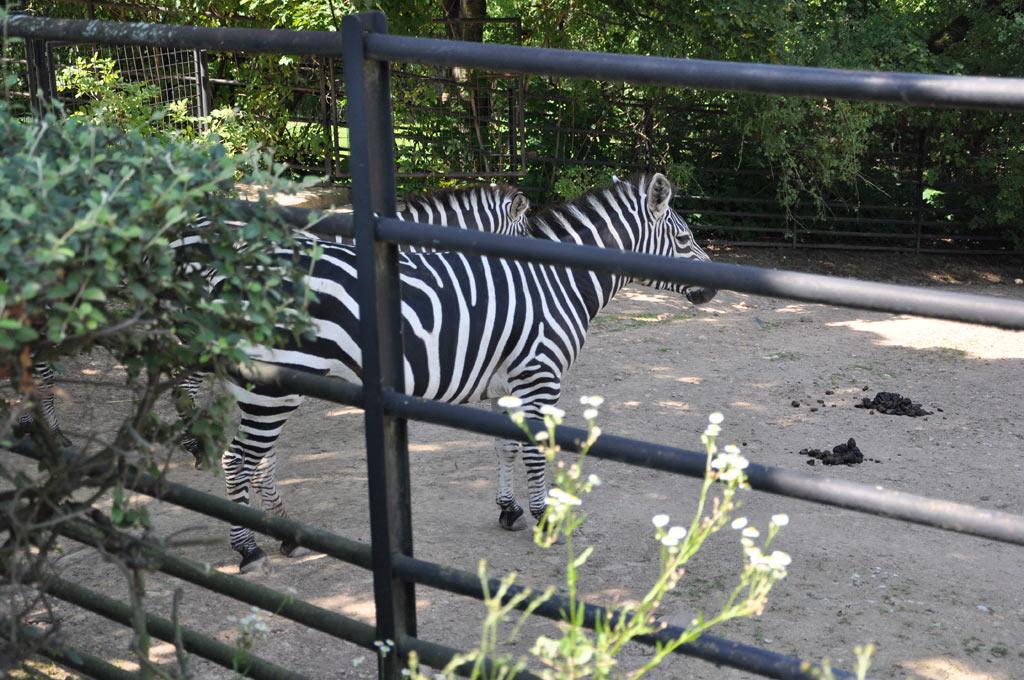 Зебры в зоопарке Праги